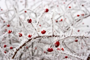 Frosted rosehip berries
